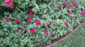 Verbena groundcover with purple flowers