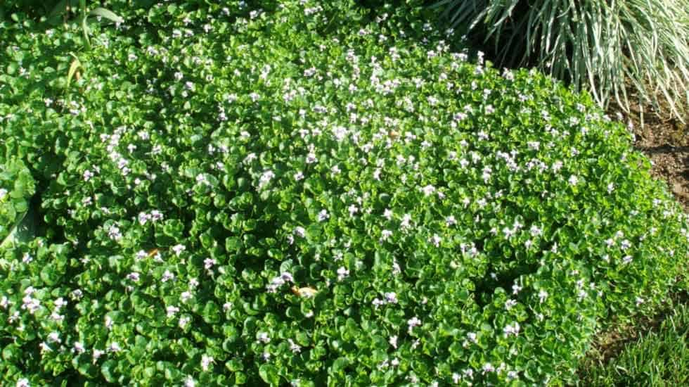 Our Favorite Groundcovers Garden View Landscape Nursery