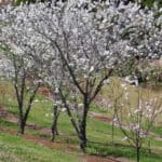White flowering peach trees prunus