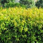 Shiny Xylosma congestum hedge