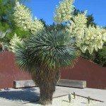 "Yucca rostrata ""Beaked Yucca"" succulent"