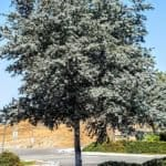 Acacia baileyana Purpurea - Purple Cootamundra Wattle, Fern Leaf Acacia