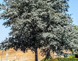 Acacia baileyana Purpurea Purple Cootamundra Wattle, Fern Leaf Acacia