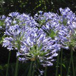 Agapanthus africanis - Lily of the Nile