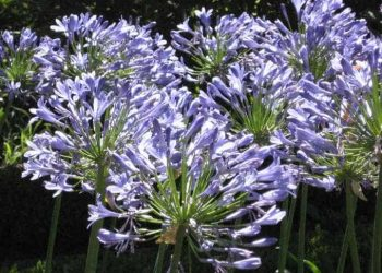 Agapanthus africanis Lily of the Nile