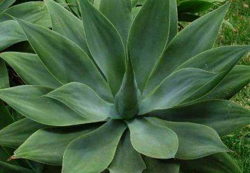 Agave attenuata succulent