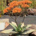 Coral Aloe succulent