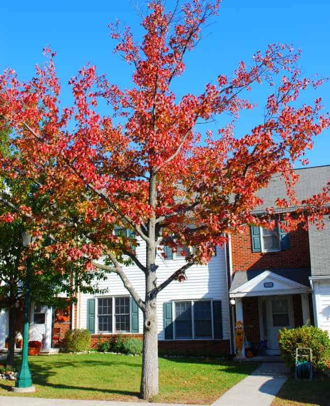 american sweetgum tree in frontyard (Liquidambar styraciflua)