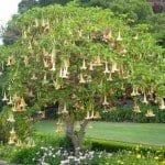 Angel's Trumpet Tree