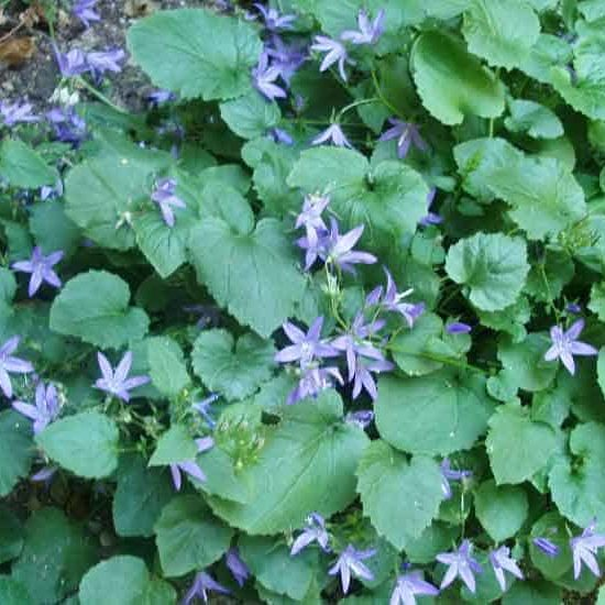 Campanula ground cover with purple flowers