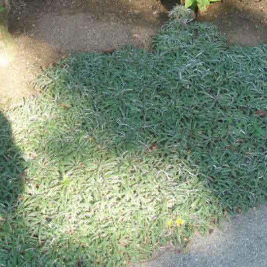 Dymondia groundcover along path