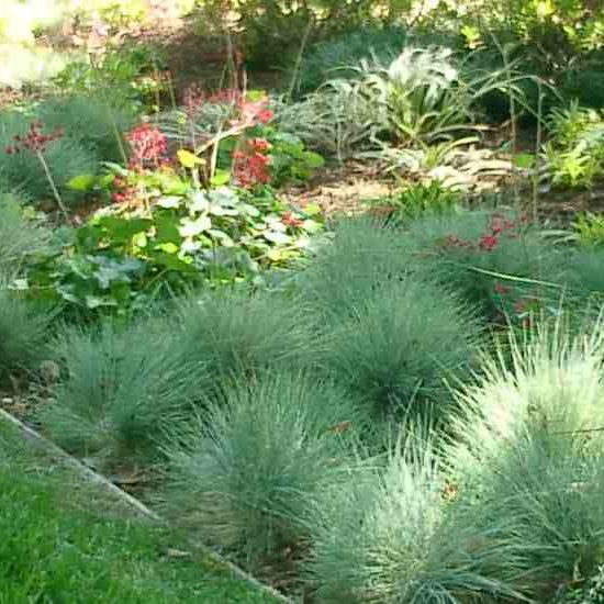 Festuca plants used as groundcover along grass lawn