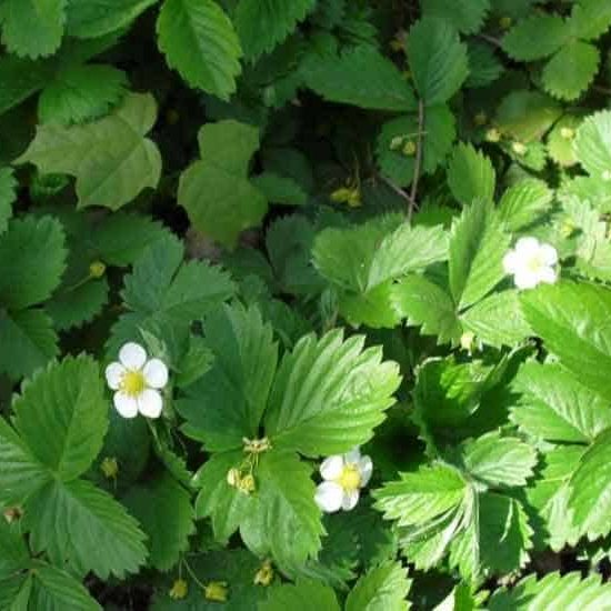 Ornamental Strawberry groundcover with white flowers