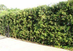 Podocarpus gracilior hedge along driveway