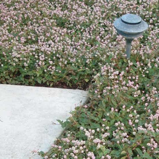 pink flowers of Polygonum capitatum along concrete walkway