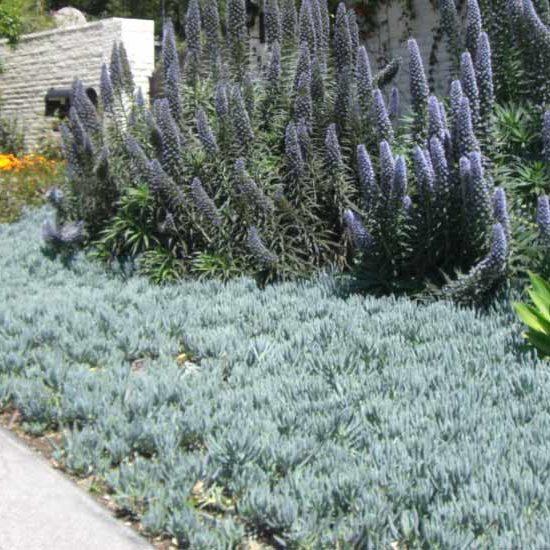 Senecio mandraliscae (Blue Chalk Sticks) as a groundcover along driveway