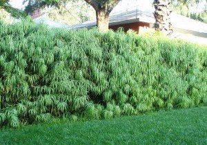 Podocarpus henkelii Long Leaf Yellowwood