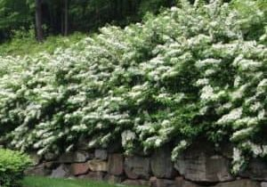 Viburnum hedge with white flowers hanging over rock wall