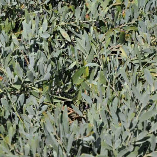 Acacia redolens groundcover