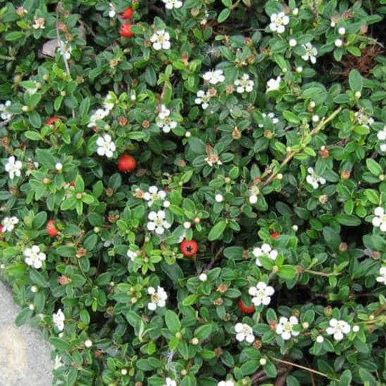 Cotoneaster lowfast along sidewalk displaying white flowers and red berries