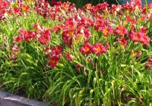 wine red daylilies in sidewalk planter in Monrovia, CA