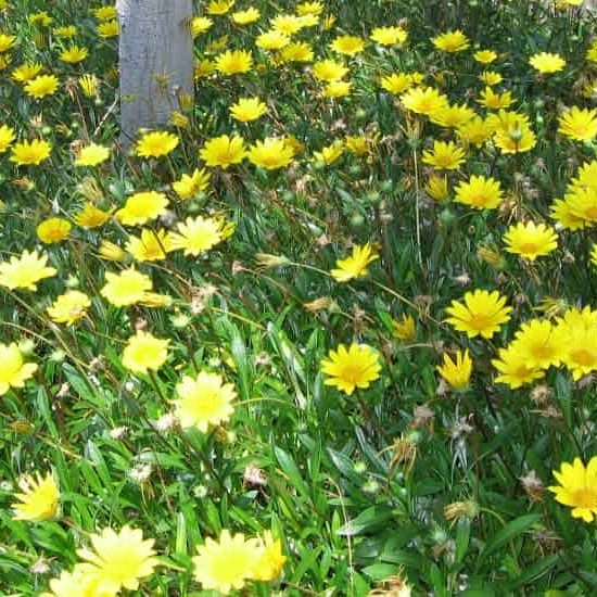 Yellow Gazania groundcover flowers