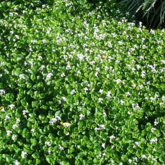 Viola hederacea Trailing Violet groundcover