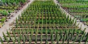 Aerial view of Hedges at Garden View Nursery