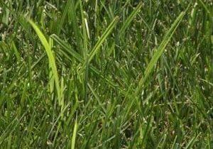 Nut Grass
