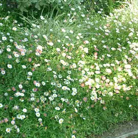 Santa Barbara Daisies used on hillside as groundcover