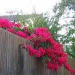 Bougainvillea hanging over wood fence