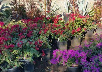 Red and Purple Bougainvilleas in gallon pots