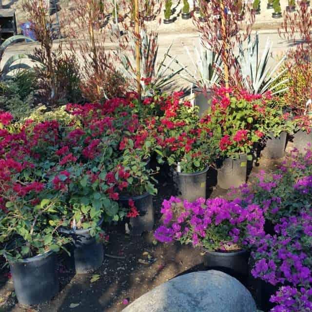 Red and Purple Bougainvilleas in 5 gallon pots