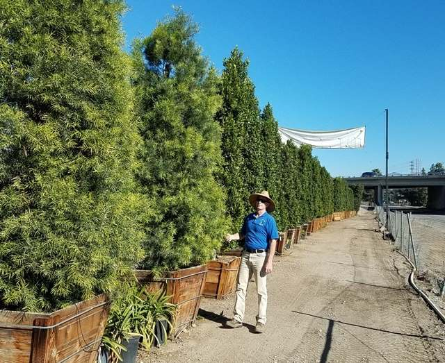 Large boxed Podocarpus privacy hedges
