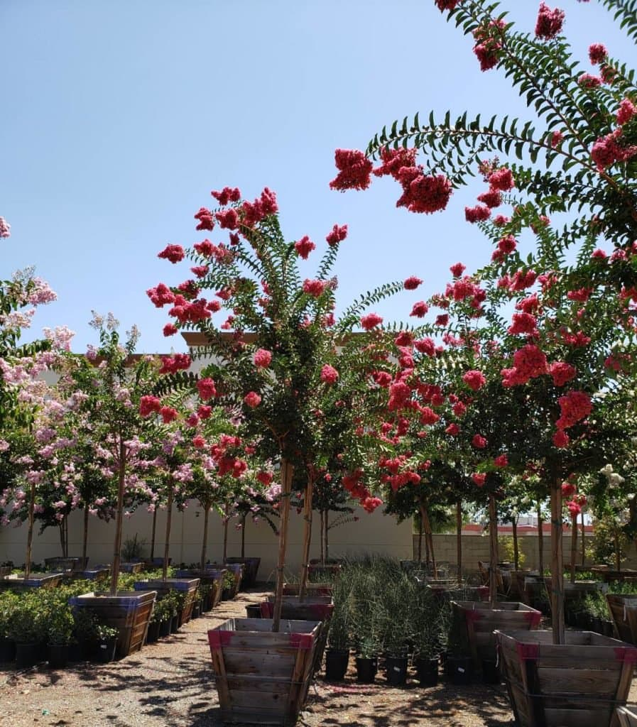 Rows of Blooming Crape Myrtles
