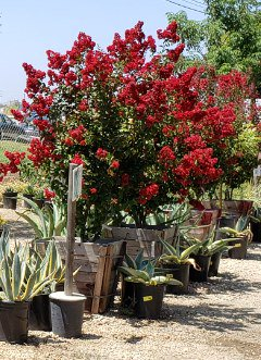Red Boxed crape myrtle next to succulents