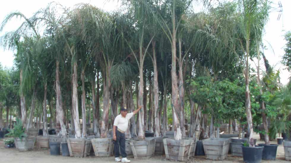 Large Queen Palm trees in twenty four inch boxes