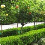 Boxwood hedge surrounding tree roses