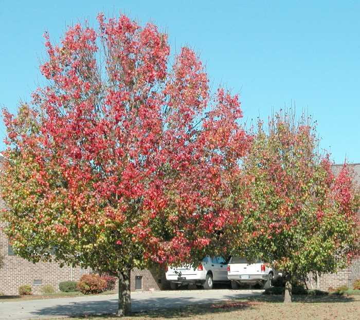fall color of Bradford Pear Tree - Pyrus calleryana