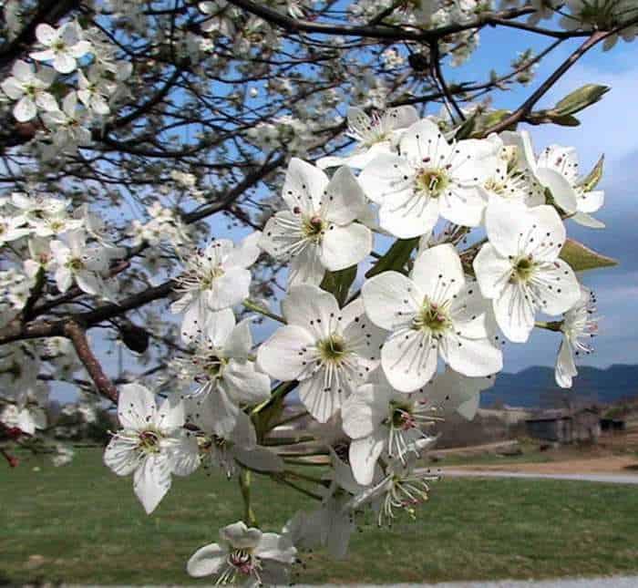 White flowers closeup of bradord pear tree