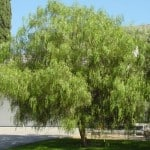 CaliforniaPepperTree Schinusmolle