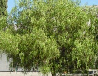 California Pepper Tree Schinus molle