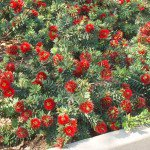 Dwarf Bottlebrush in retaining wall