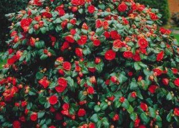 Camellia japonica shrub