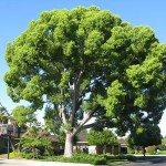 camphor - Cinnamomum camphora