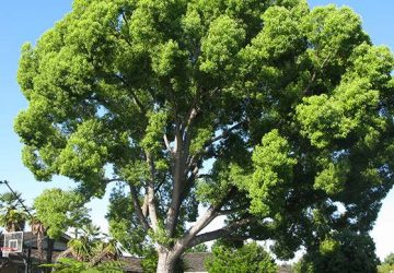 camphor Cinnamomumcamphora