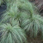 Three Carex Frosted Curls Plants