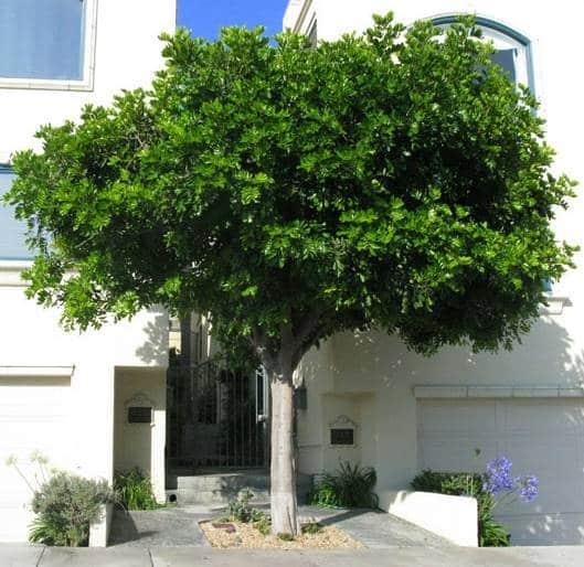 carrotwood tree in sidewalk