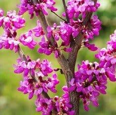 Oklahoma Redbud tree pink flowers