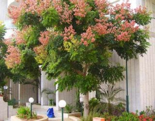 chinese flame tree in HOA entrance